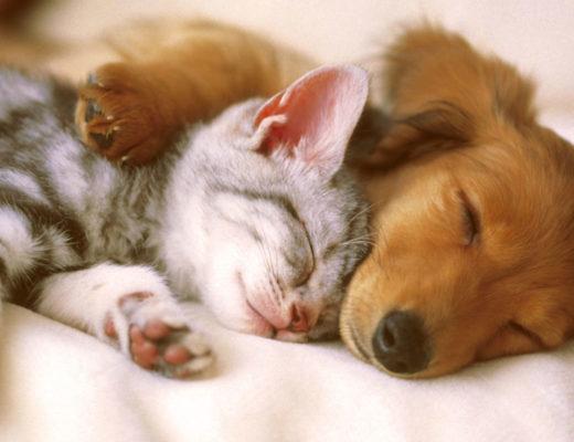 chat ou chien